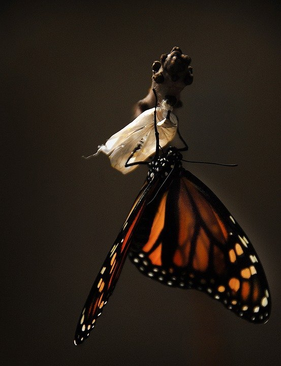 Un papillon sort de sa chrysalide